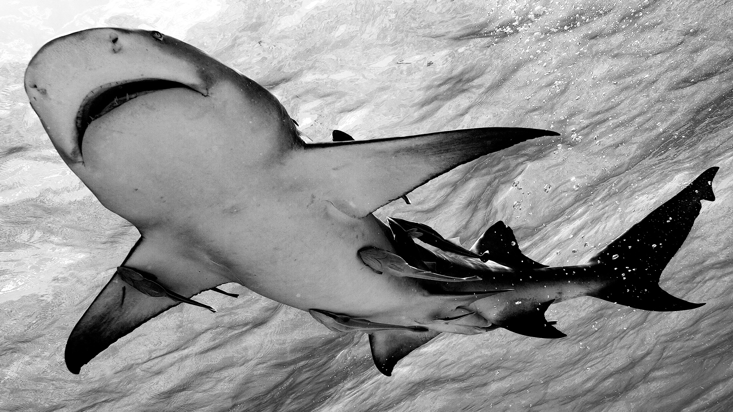 View of shark from below