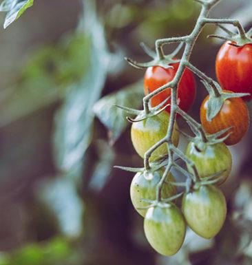 Tomato Vine Jump Restaurant Toronto