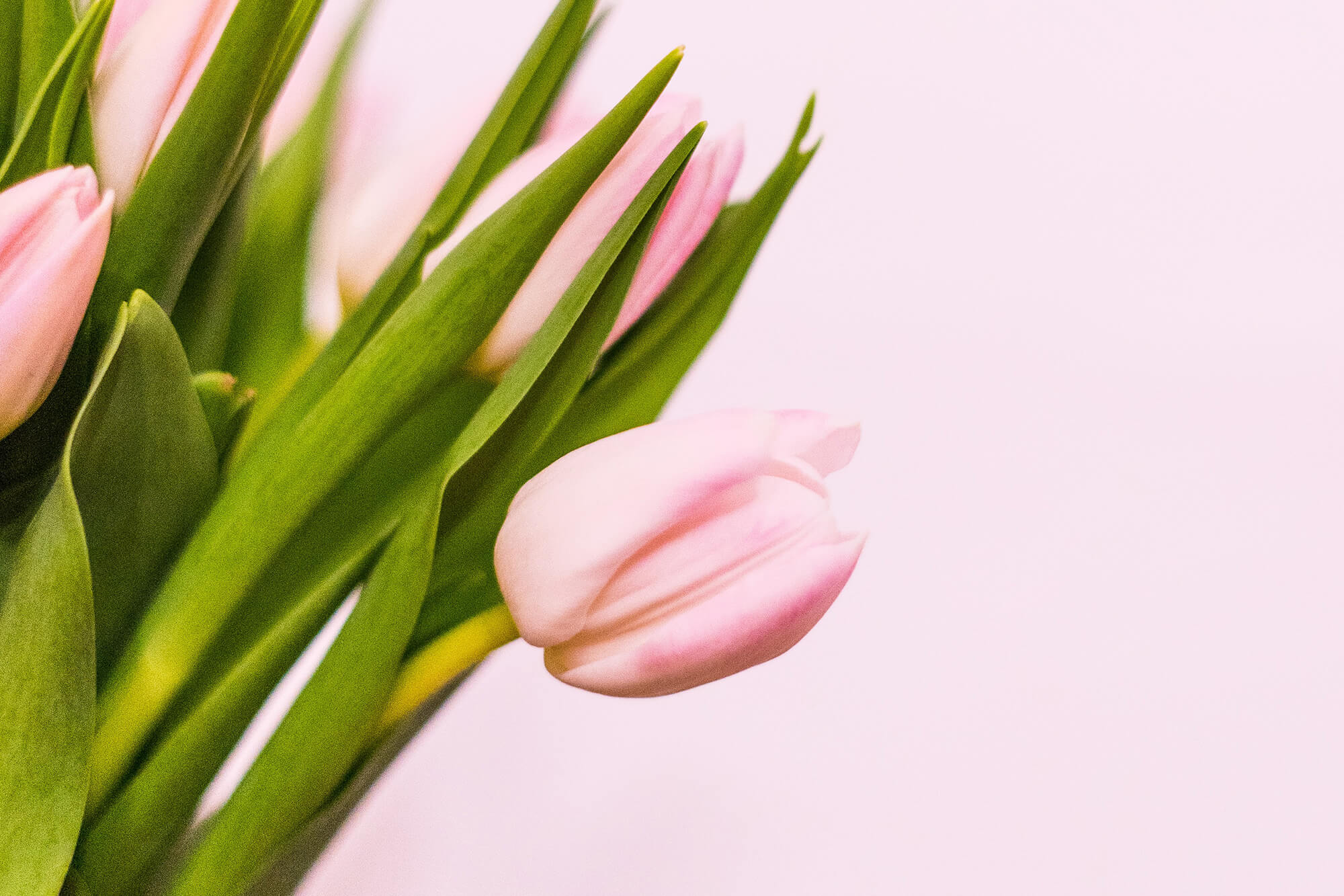Close up shot of pink tulips on a pink backdrop