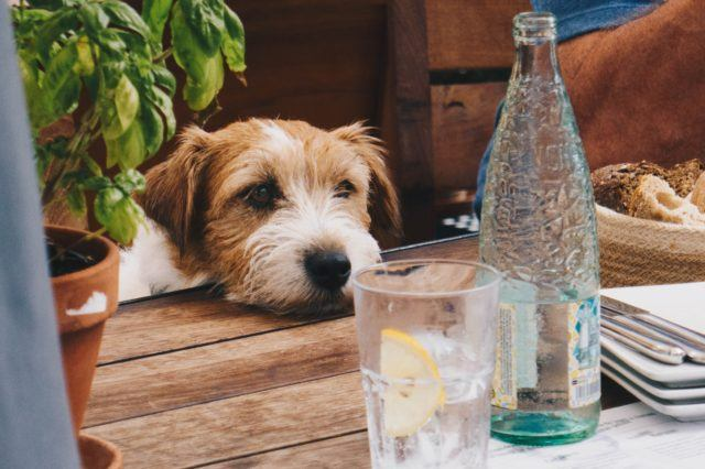 dog with head on table looking at glass bottle