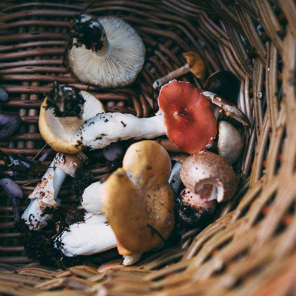 wicker basket with freshly picked mushrooms